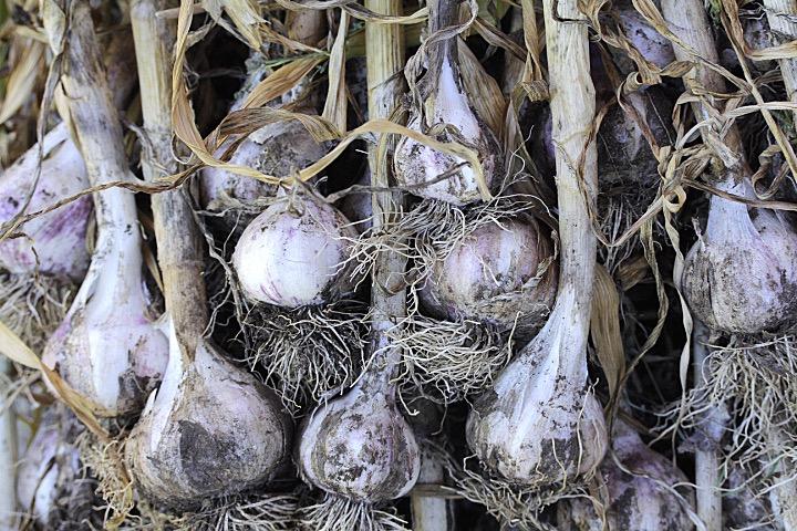 garlic dirty