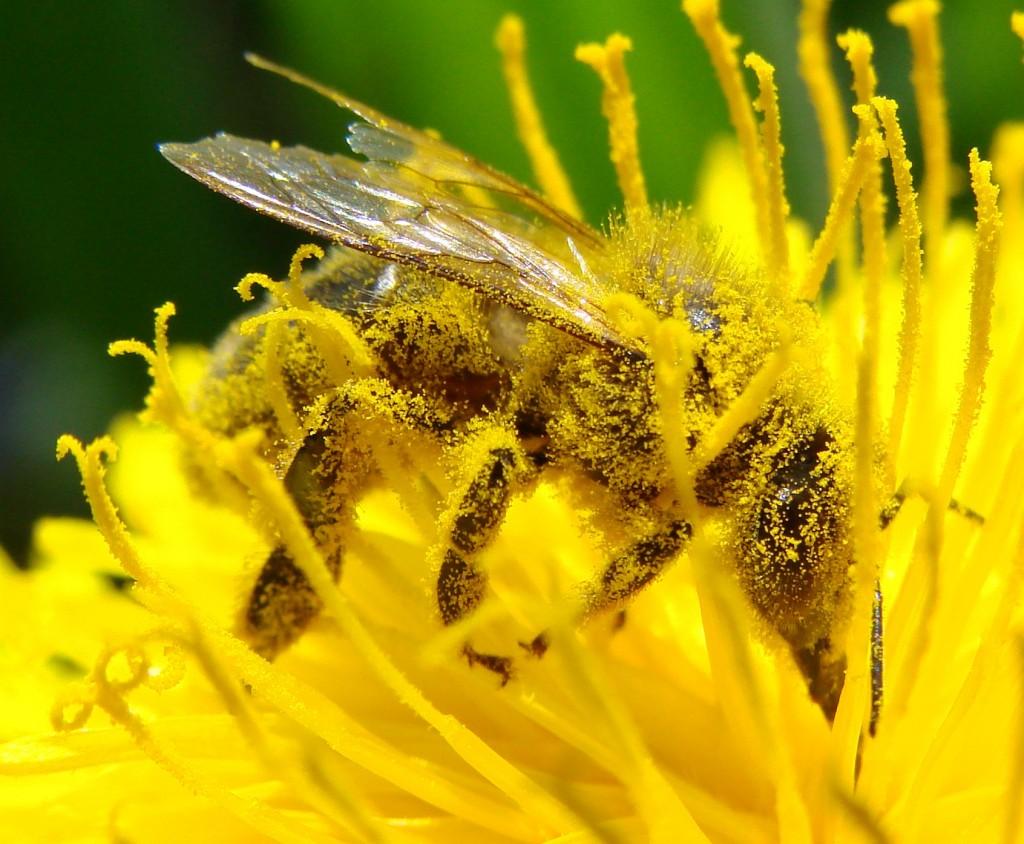 pollinisation-pissenlit
